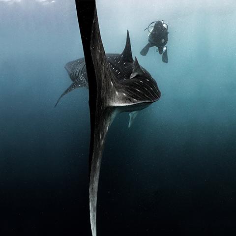 Whale Shark & Human