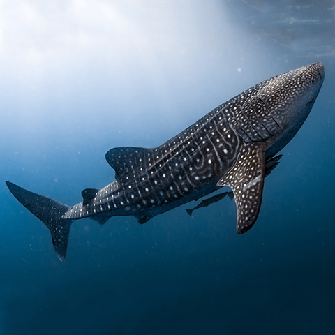 Whale Shark in Indonesia