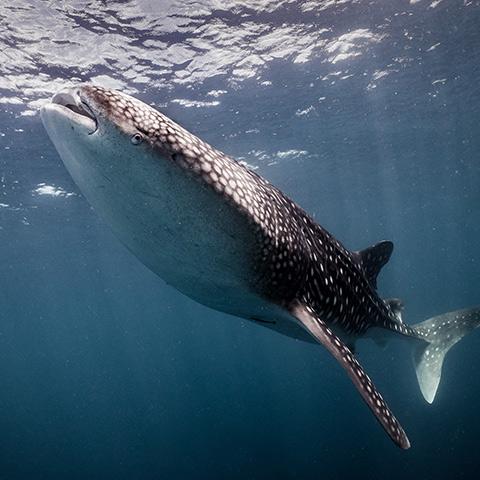 Whale Shark in Fam Islands