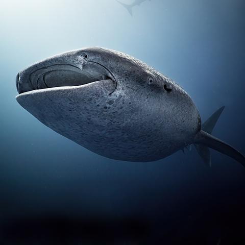 Whale Shark Portrait