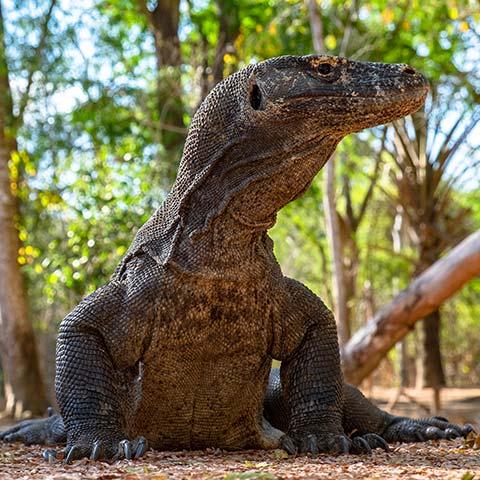 Where to see Komodo Dragons