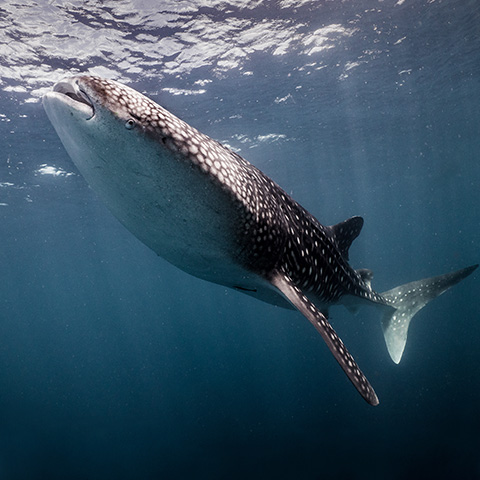 Where to see Whale Shark