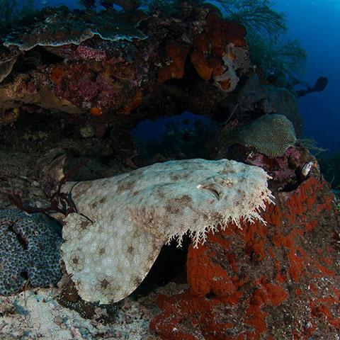 Wobbegong Shark Raja Ampat