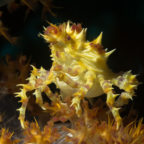 Yellow Candy Crab